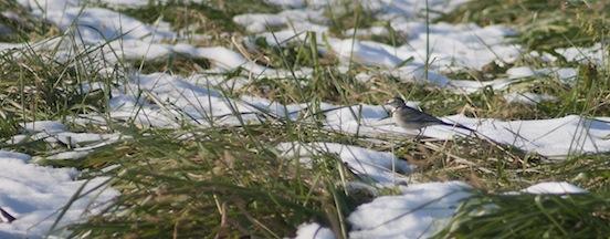 Ballerina grigia tra l'erba e la neve
