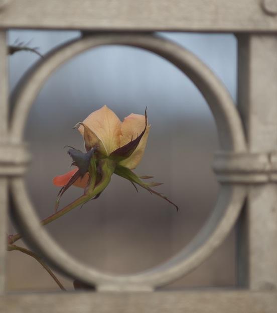 Bocciolo di rosa invernale